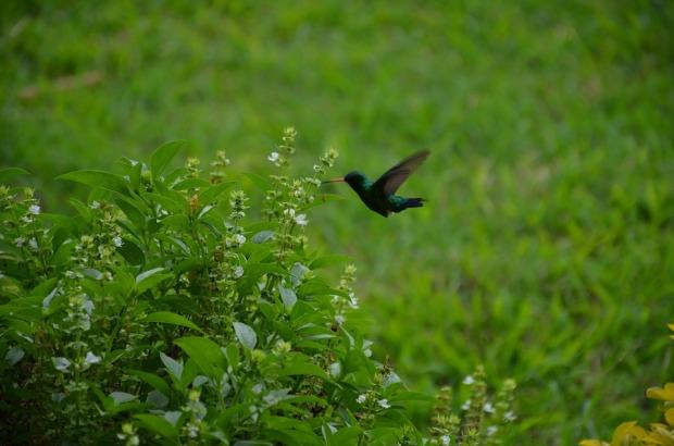 humming-bird-1890680_960_720
